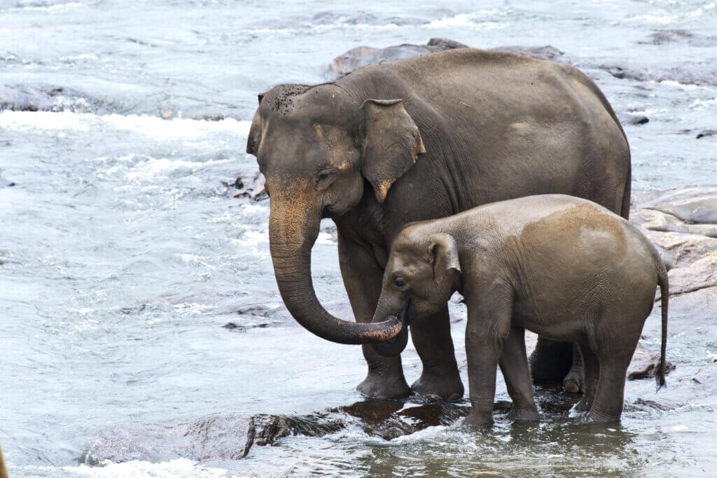 Image of Asian Elephants Mother and Baby taking a bath
