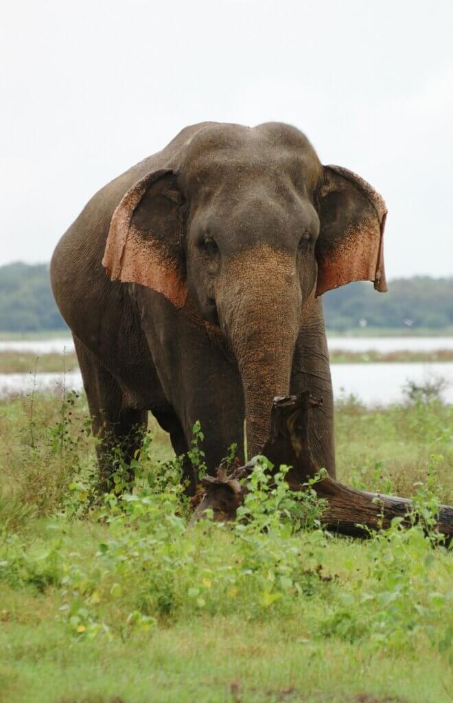 Image of Asian or Asiatic Elephant in national park Minneriya