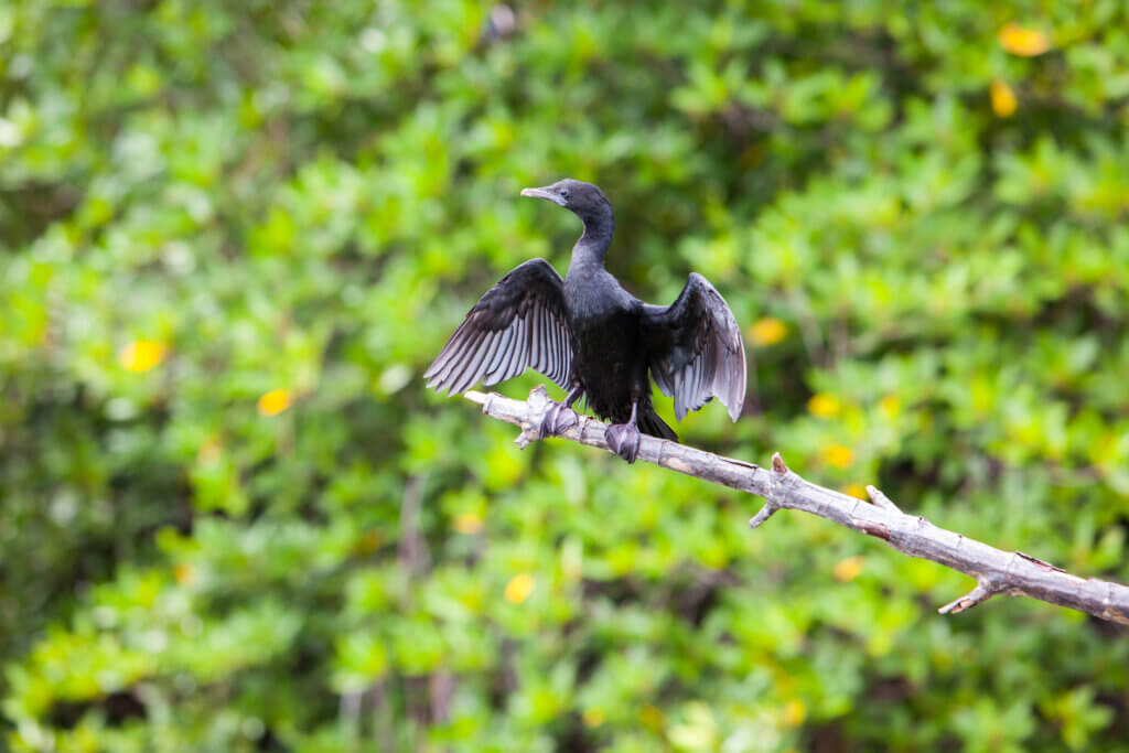 """""""Image of Black Cormorant lets its wings dry in the sun at Madu Ganga river"""""""