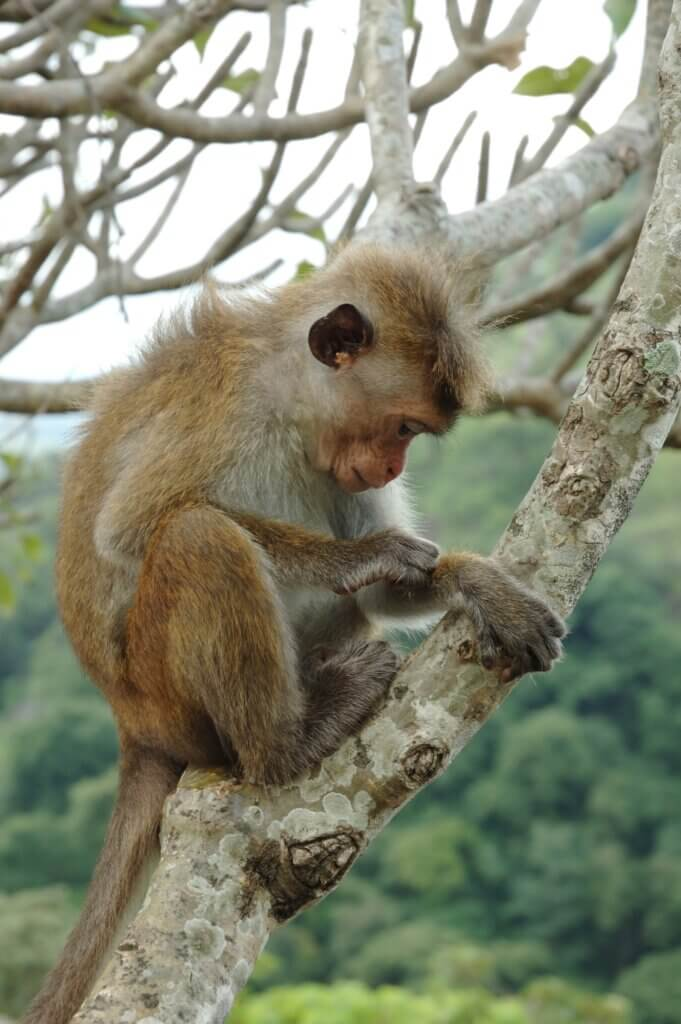 Image of Bonnet Macaque in tropical forests of South-eastern Asia