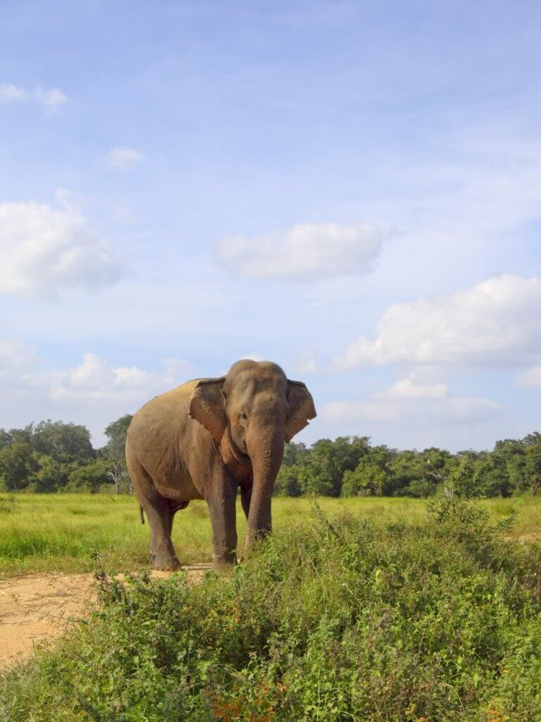 Image of Elephant on a sandy track in wasgomuwa national park