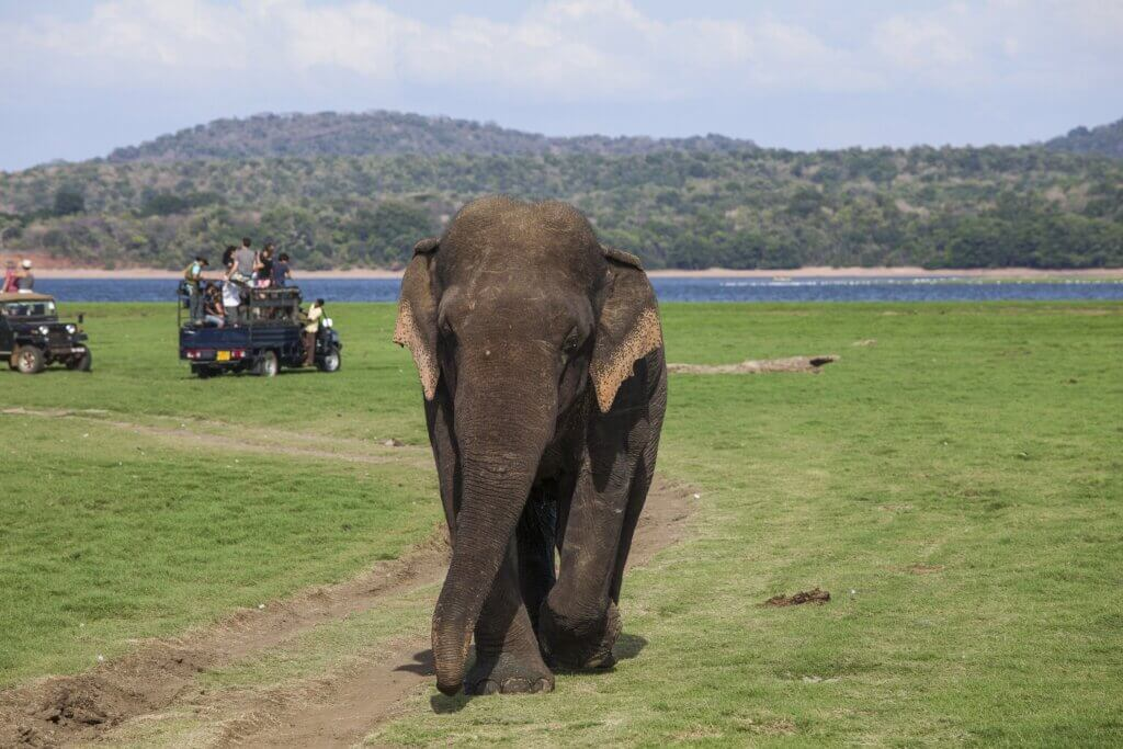 Image of Elephants chasing tourists away at National Park Minnerya