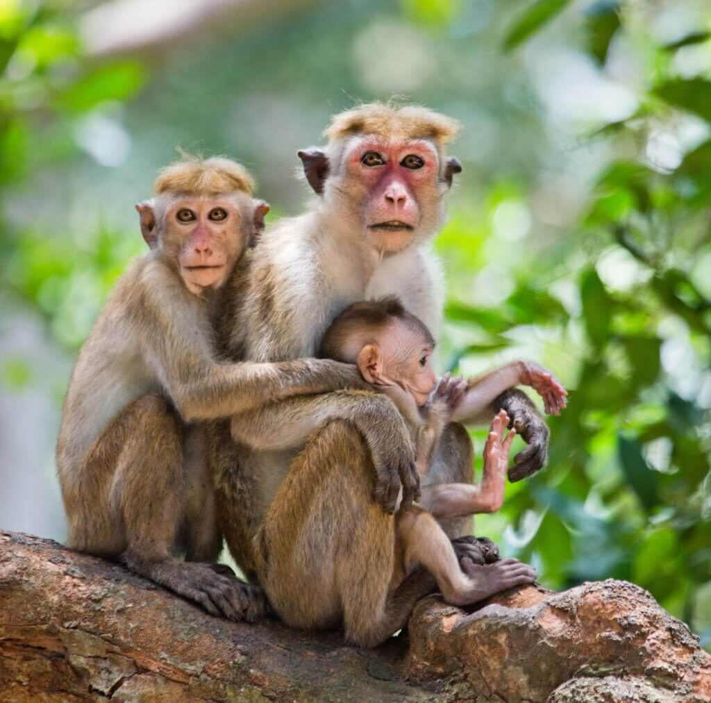 Image of Family of monkeys sitting in a tree