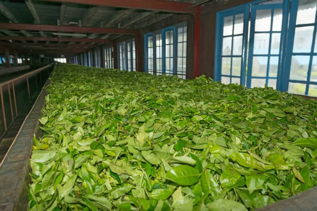 Image of Fresh green tea crop drying on long warm surface inside of tea factory for withering
