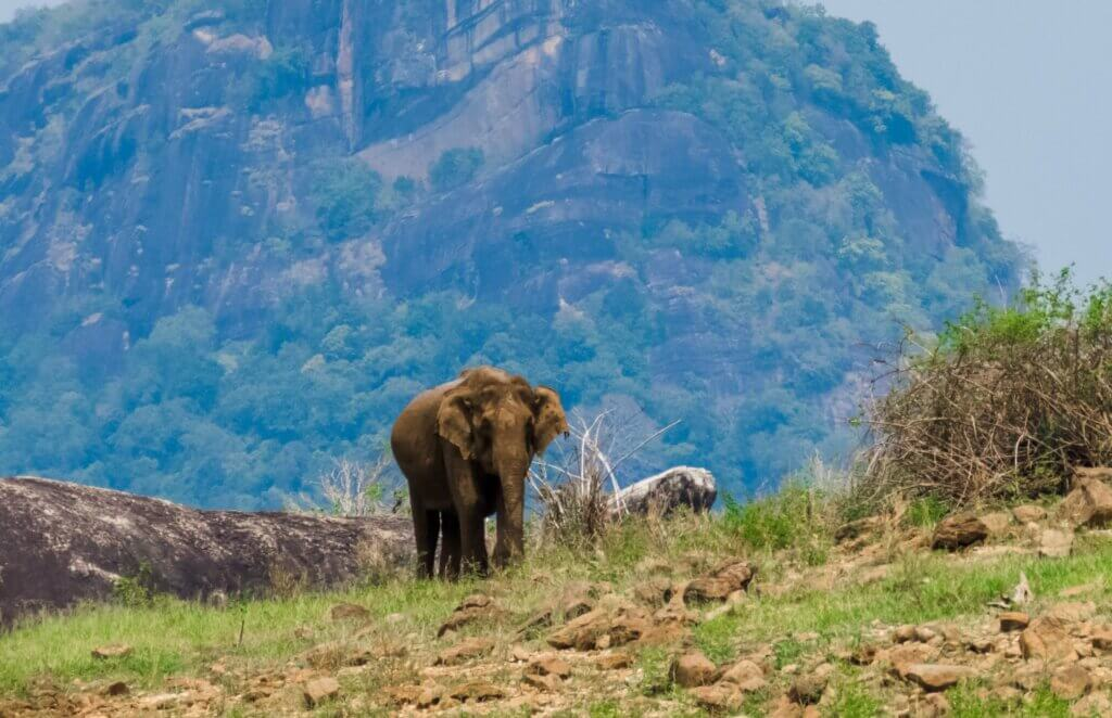 Image of Giant Asian Elephant feeds at Gal Oya National Park