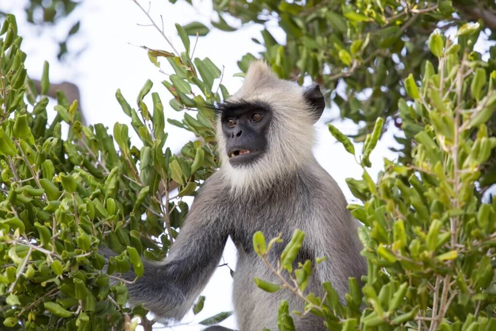 Image of Gray Langur sitting in a green leaf tree