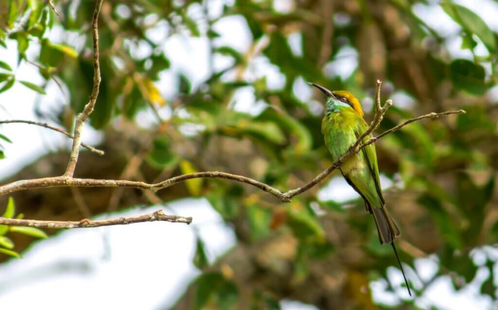 Image of Green Bee Eater at Wilpattu National Park