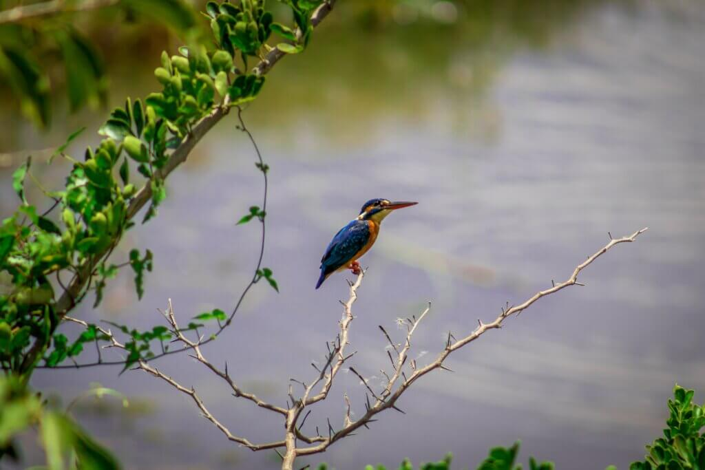 Image of Kingfisher at Wilpattu National Park