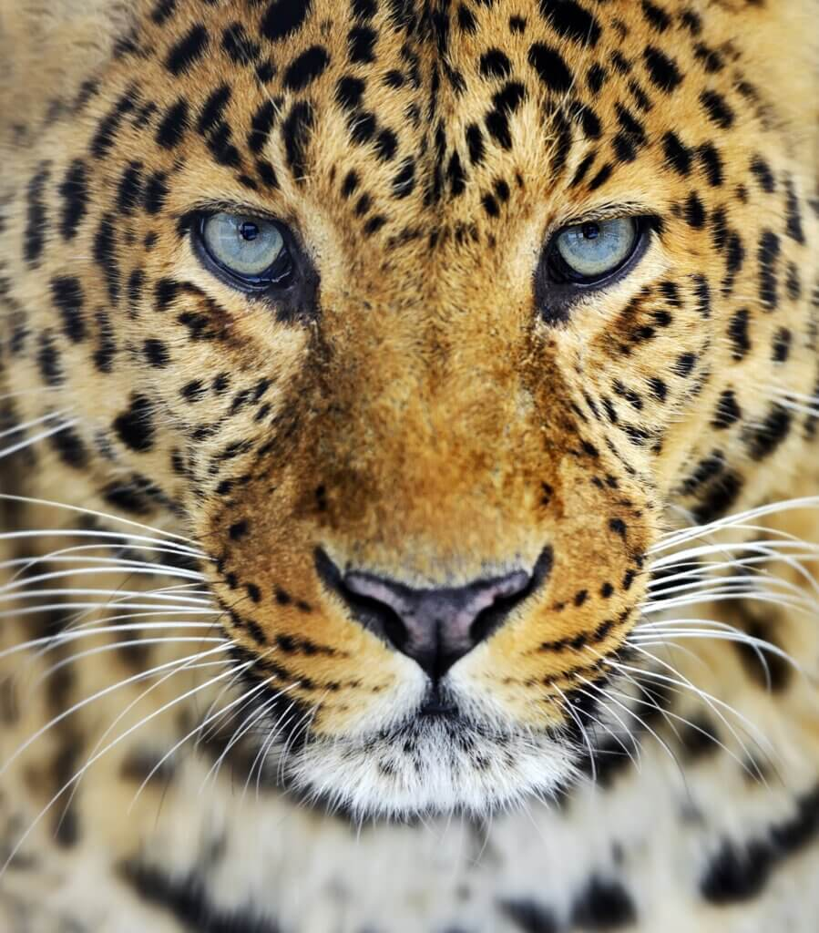 Image of Leopard in the wild on the island of Sri Lanka