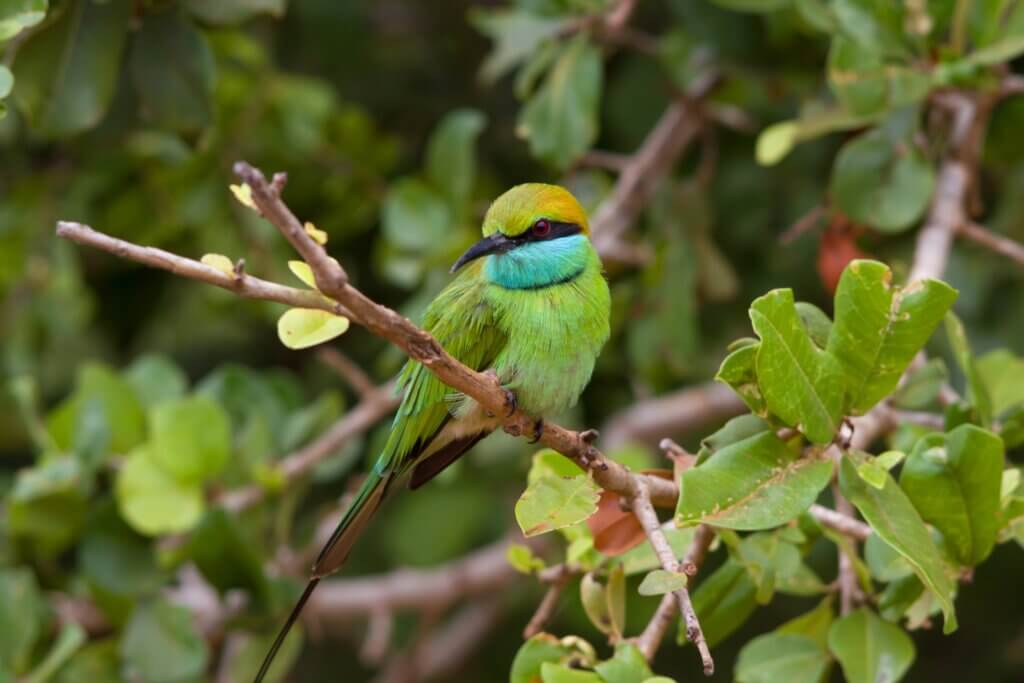 Image of Little green bee-eater in the Yala National Park