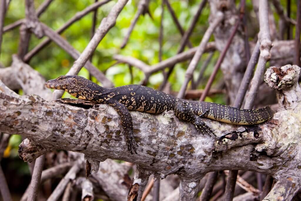 """""""Image of Monitor lizard resting on a tree branch in Madu Ganga river """""""