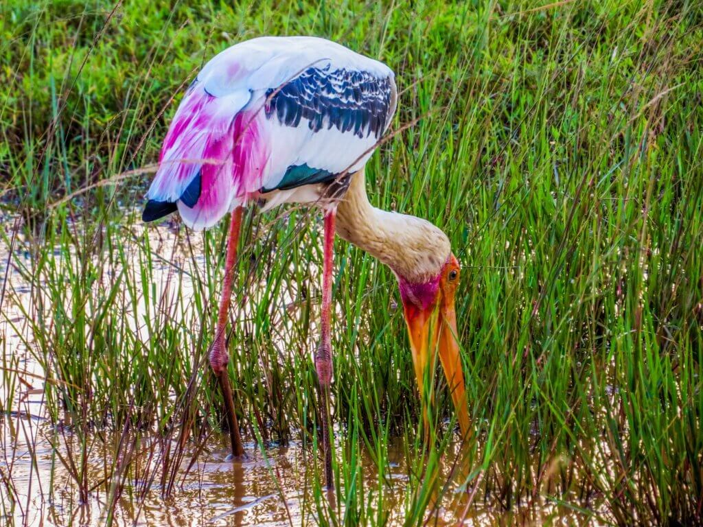 Image of Painted stork In Yala National Park