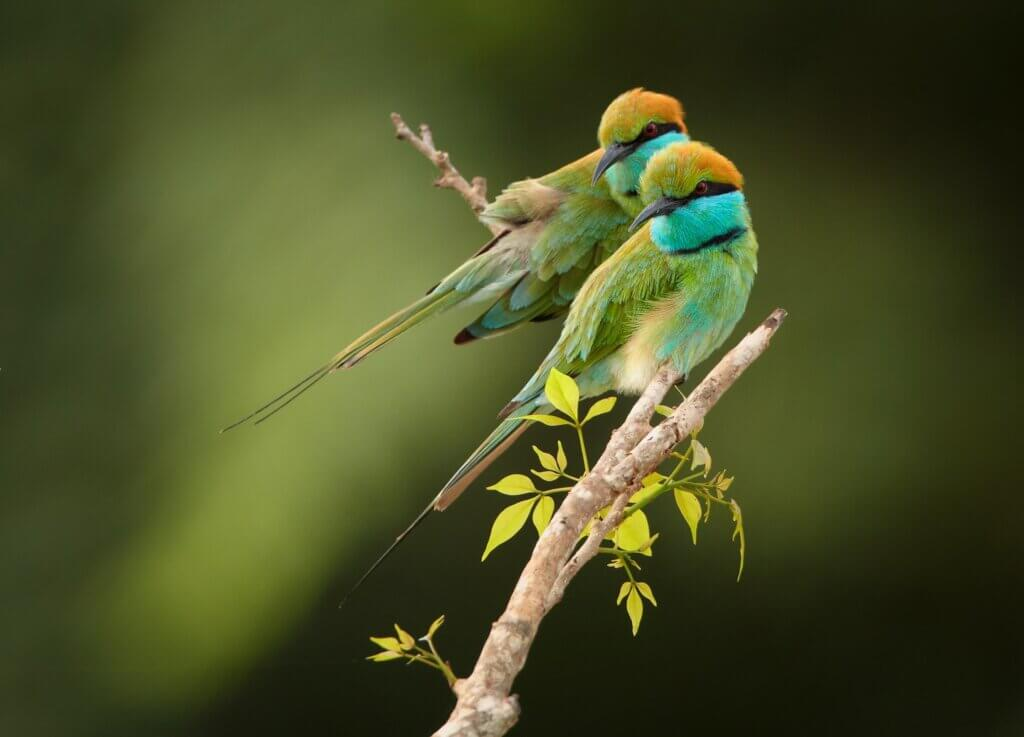 Image of Pair of colorful Little green bee-eater Merops Udawalawe