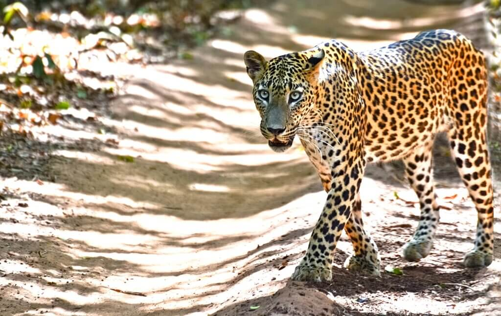 Image of Sri Lankan leopard