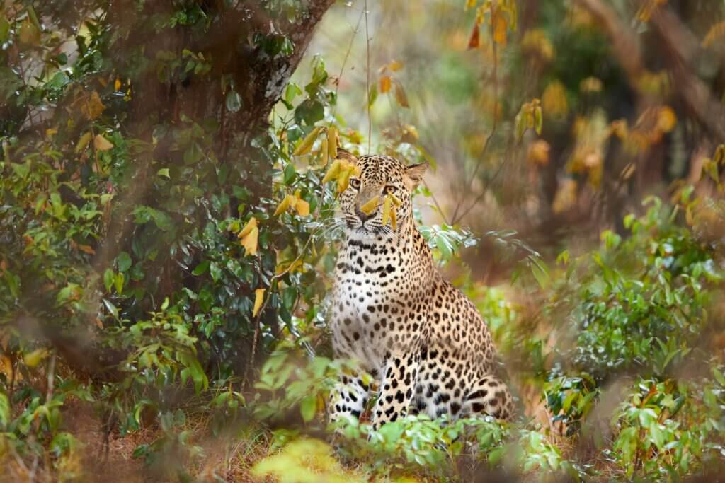 Image of Leopard, Panthera in Wilpattu national park