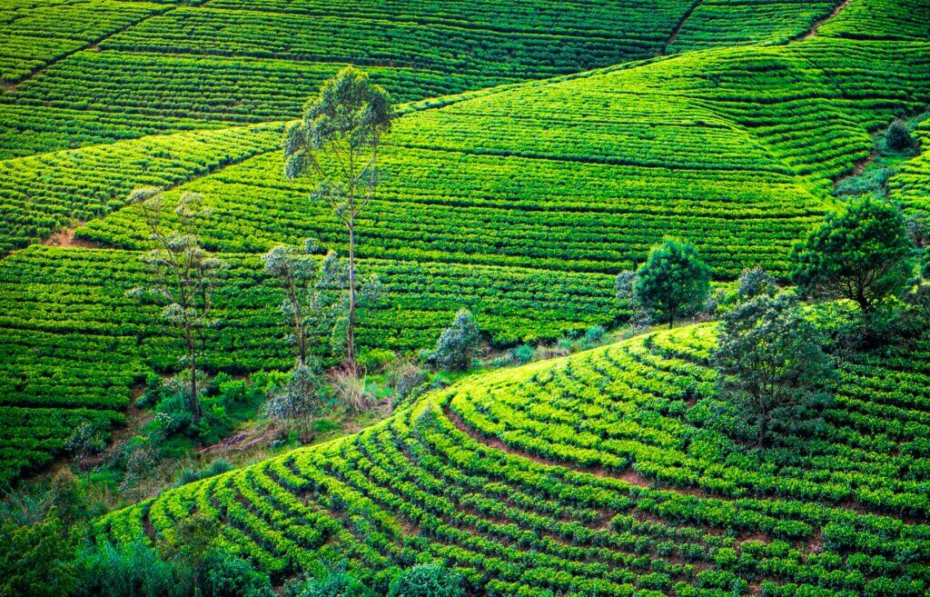 Image of Tea plantation in with trees Beautiful landscape