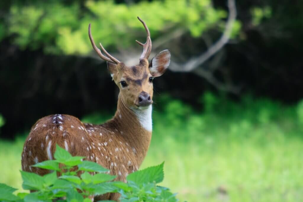 Image of Wild Spotted deer in Yala National park