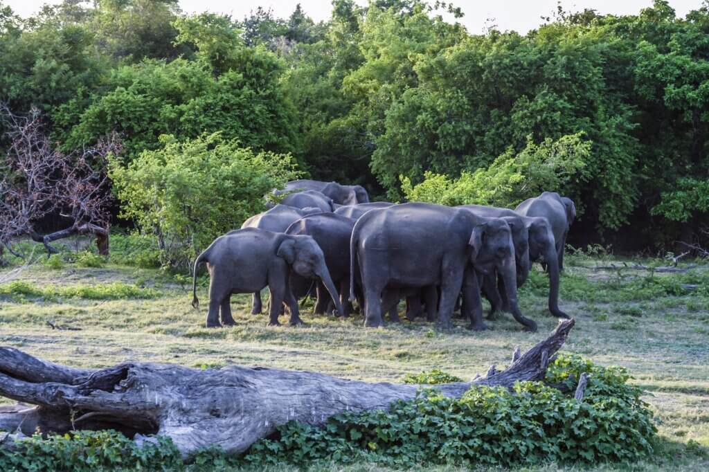Image of Wild elefants in the jungle in Sri Lanka