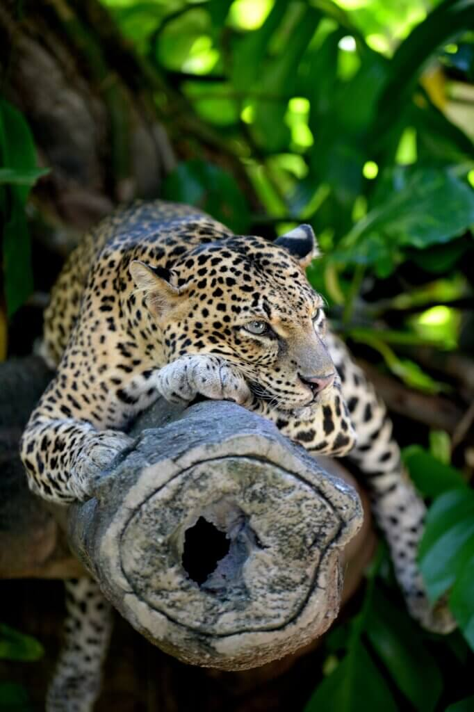 Image of close up shot of an African Leopard