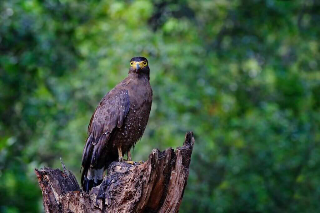 Image of Eagle in Wilpattu national park