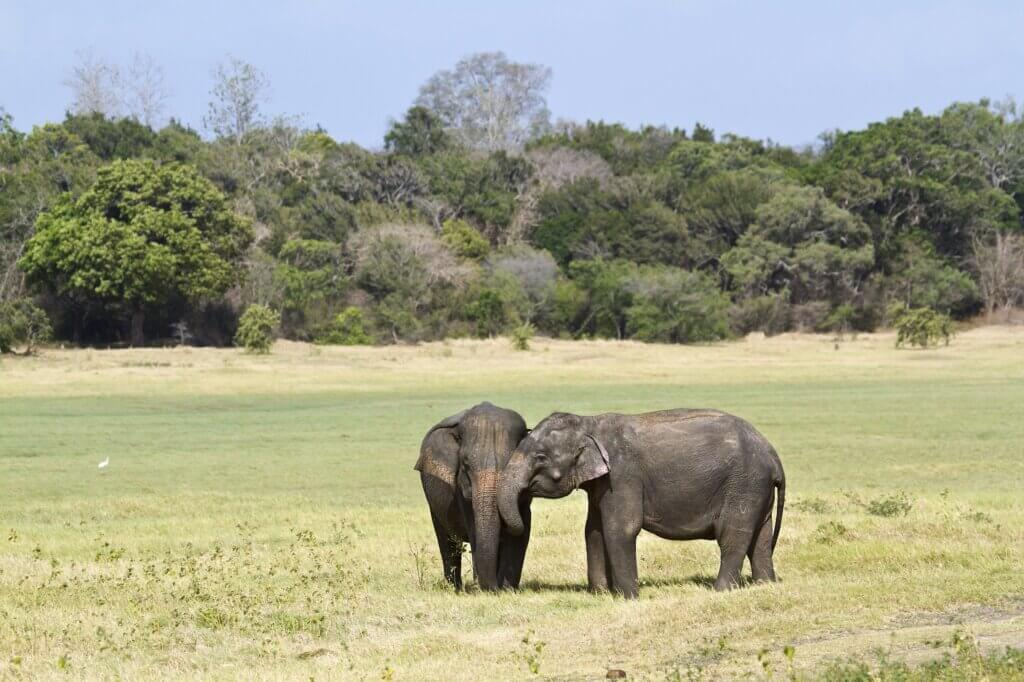 Image of elephant in Minneriya national park