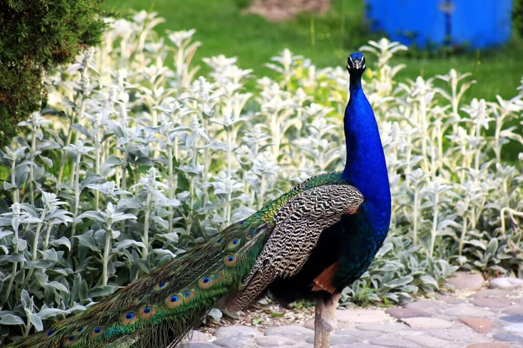 Image of peacock on park