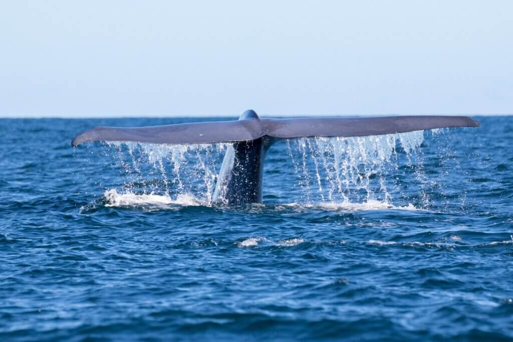 Image of Blue whale tail