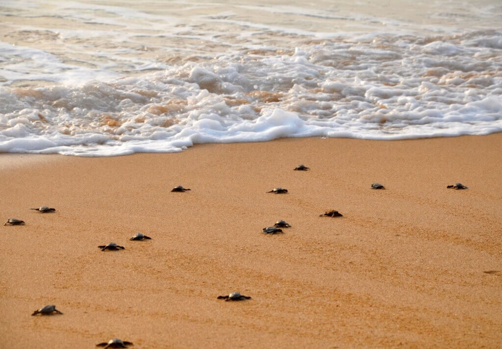 Image of Small turtle migrates to the ocean
