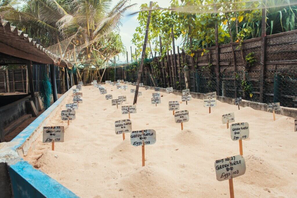 Image of Turtle eggs laid in sand at Sea Turtle Farm and Hatchery