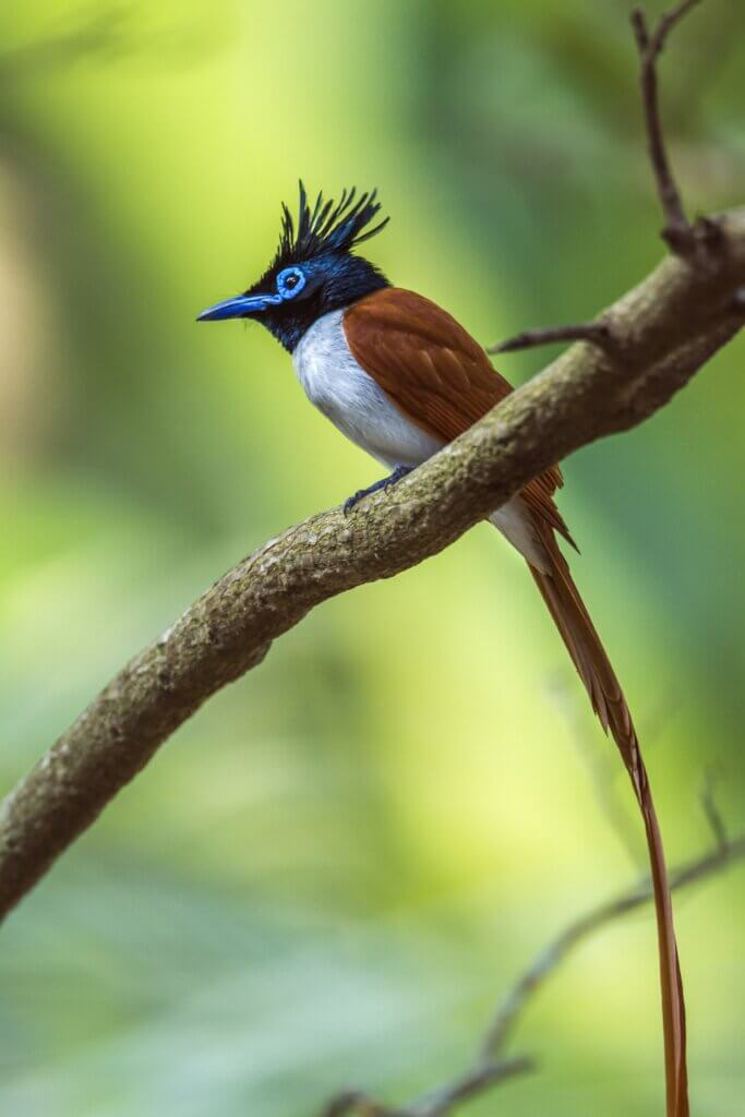 Image of Asian paradise flycatcher in Minneriya national park