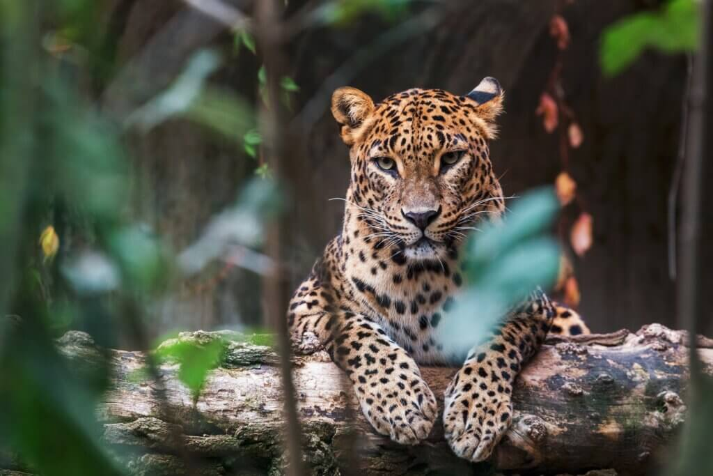 Image of Ceylon leopard lying on a wooden log and looking straight ahead