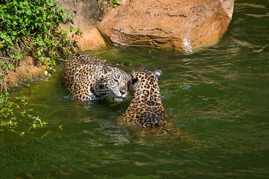 Image of Close up Leopard in a pond sri lanka