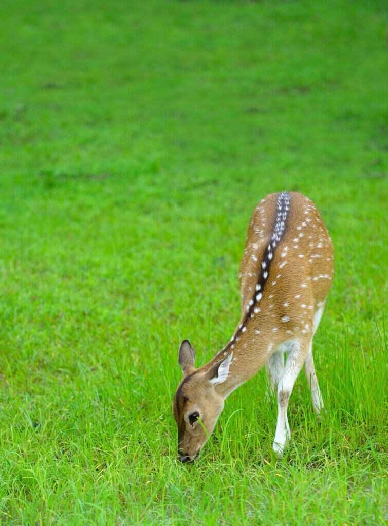 Image of Deer in the wild The national Park