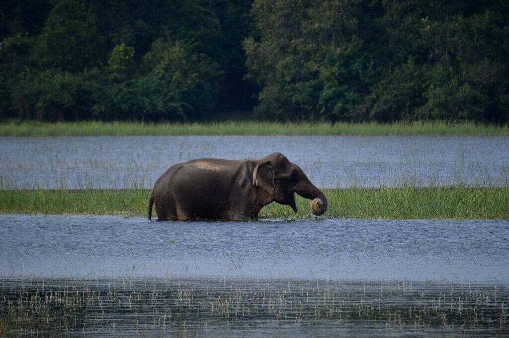 Image of Elephant eating in the shallow lake with green leaves