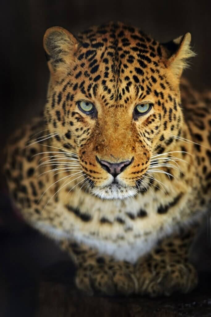 Image of Leopard in the wild on the island