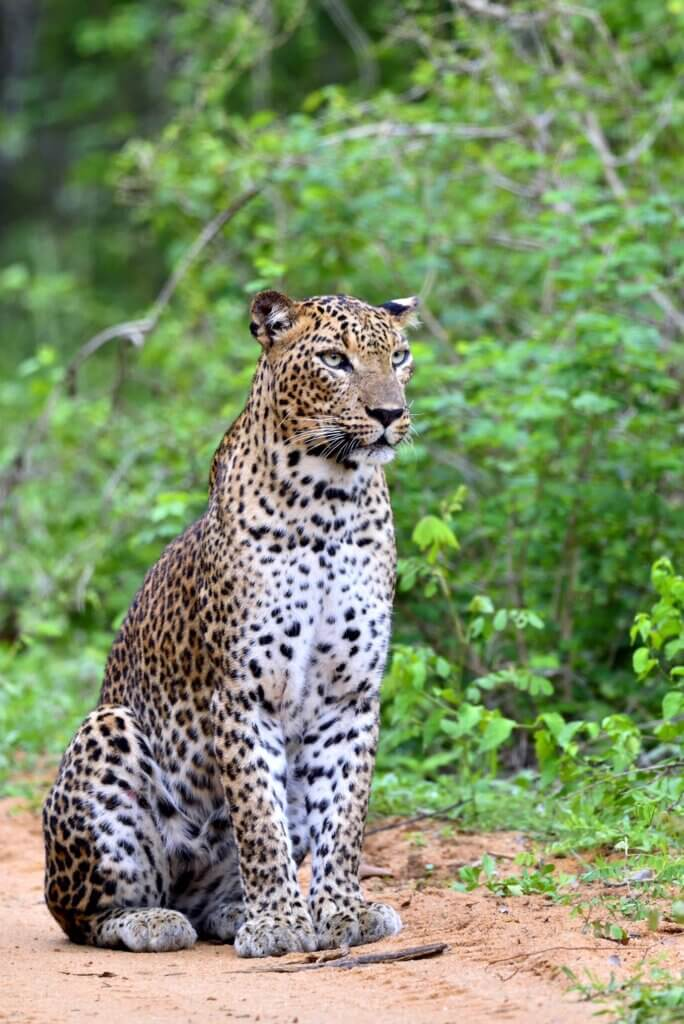 Image of Leopard sitting on a sand road