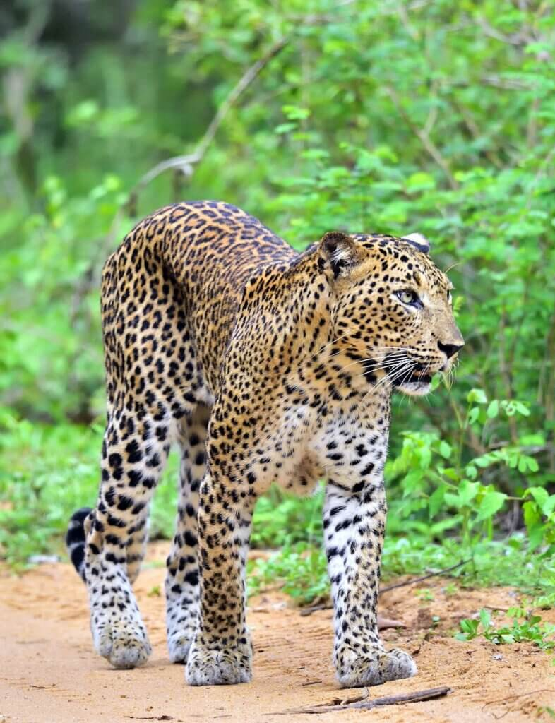 Image of Leopard walking on a sand road Yala