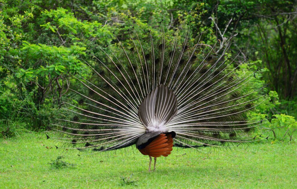 Image of Peacock bird in the wild national Park