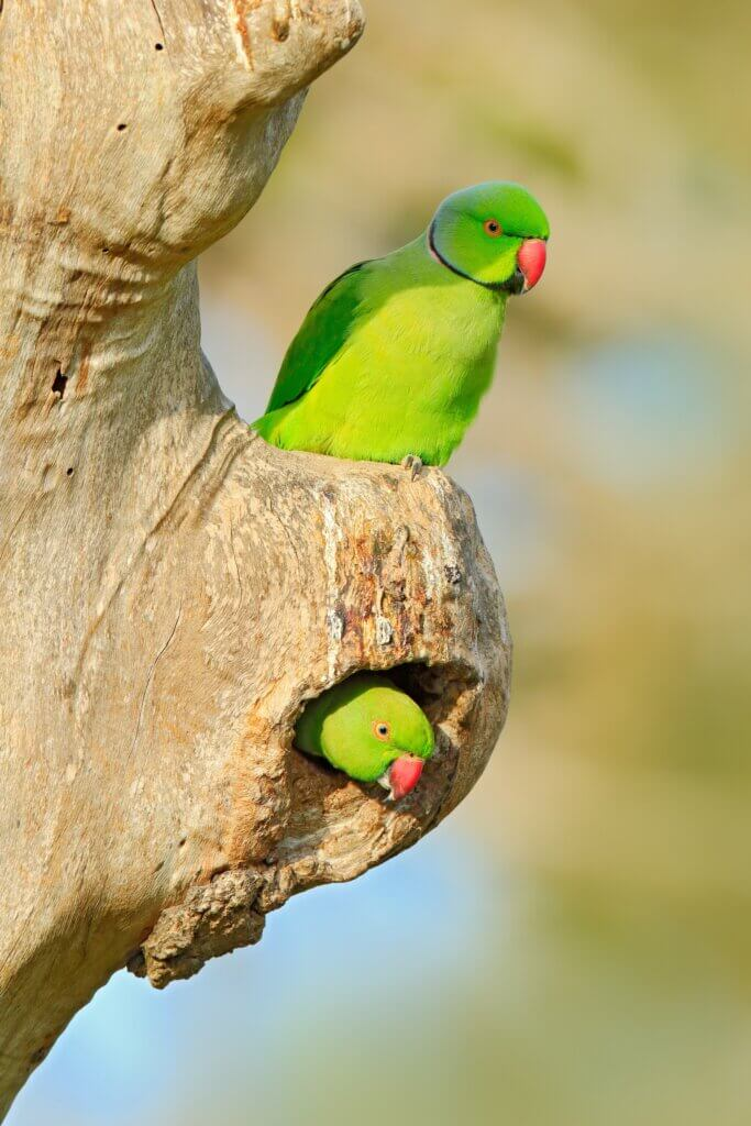 Image of Two bird in nest hole Nesting Rose-ringed Parakeet,