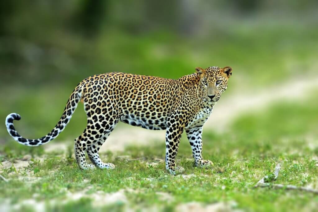 Image of Walking leopard Yala national park