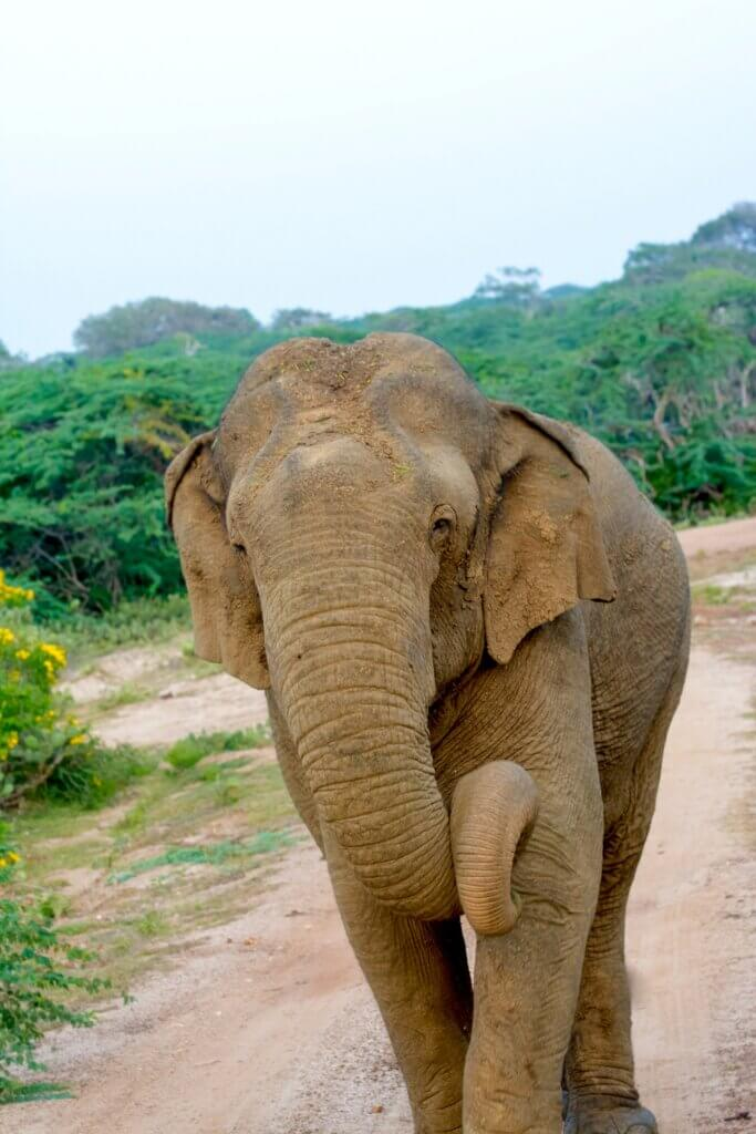 Image of Wild Elephant In Yala National Park