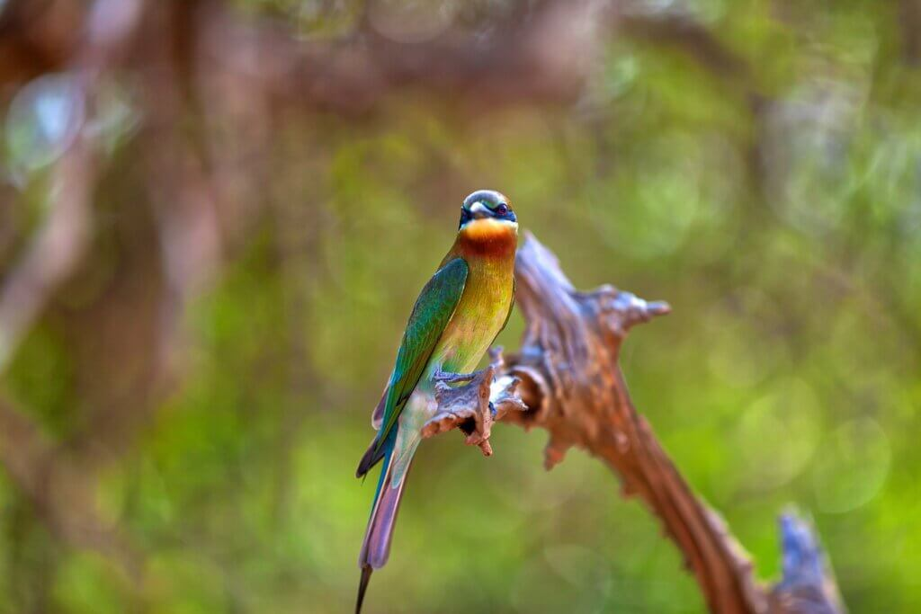 Image of exotically bird is sitting on a twig in the Yala Nationalpark