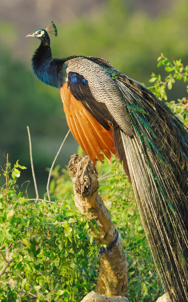 Image of Wild male Peacock in Yala West National Park