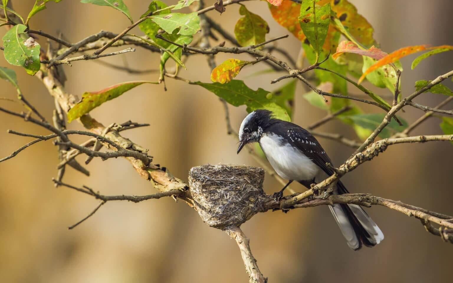 Image of White-browed fantail flycatcher in Udawalawe