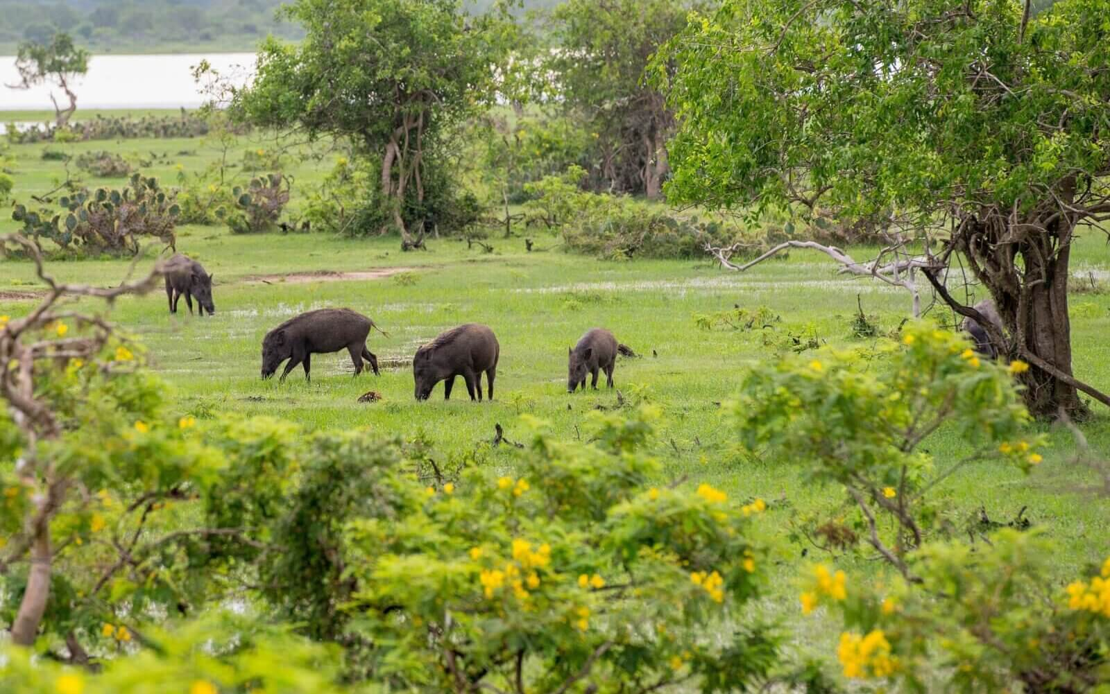 Image of Wild pigs in national park Yala